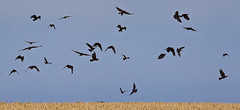 The Birds (yadrad) Tags: south devon crows dartmouth wheatfield daymark