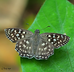Spotted Angle / Caprona alida /  (bug eye :) Thailand) Tags: macro nature closeup forest butterfly insect thailand rainforest natural wildlife insects bugs chiangmai