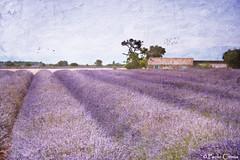 LAVANDA... (Paolo Cirmia) Tags: landscapes textures francia paesaggi provenza lavanda magicunicornverybest