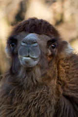 Camel profile picture (JenniferLMcCallum) Tags: zoo michigan camel detroitzoo bactriancamel 2011