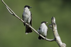 _00K2285ca3 (K S Kong) Tags: singapore bulbul ecopark nikonafs600mmf4vr tc14ell sootyheadedbulbul nativebirds