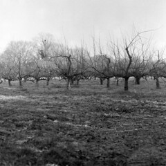 Winter Orchard (Milly's Cameras) Tags: winter bw 6x6 iso400 orchard d76 124 yashica fomapan
