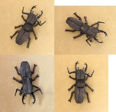 Stag Beetle 1.0 ( Philogami) Tags: art paper insect origami stag box 10 beetle pleating philogami tissuefolitissue