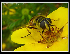 365 Day Photo Project Day 831: Aposomatic Hoverfly (Riquochet) Tags: flowers yellow wildlife insects hoverfly syrphidae hoverflies blackandyellow aposematic