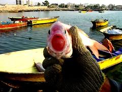 fish (sara.sfr) Tags: sea fish wharf بوشهر bushehr دریا اسکله ماهی ماهیگیر