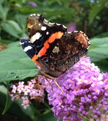 """Red Admiral.. • <a style=""""font-size:0.8em;"""" href=""""http://www.flickr.com/photos/57024565@N00/7831872144/"""" target=""""_blank"""">View on Flickr</a>"""