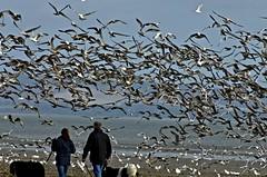 birds of a feather – Pentax M 5.6 /400 (Argon X) Tags: sea gulls pentaxsmcm400mmf56 beachflockskybluewheelingwingsflappingcouplewalkingdogsnatureoutdoors