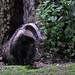 Badger Notts WT (cpt Margaret Holland)