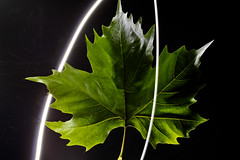 Light Leaf