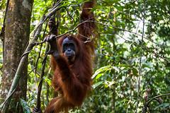 Ratna 4762 (Ursula in Aus (Resting - Away)) Tags: animal sumatra indonesia unesco orangutan bukitlawang ratna gunungleusernationalpark earthasia