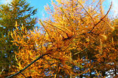 Golden Needles (stephenb19) Tags: november blue autumn trees sky orange brown sun cold tree castle fall field yellow pine clouds forest landscape gold scotland october windy sunny september fields larch forests kennedy