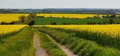 Rapeseed and dandelions (Edmund Shaw) Tags: hampshire farmland crop rapeseed