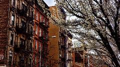 Se acerca la primavera (Miradortigre) Tags: street city nyc usa newyork calle ciudad cherryblossom nuevayork