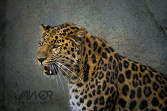 Amur Leopard Portrait (Jawor_Photography) Tags: wild nature beautiful beauty animal animals cat asian outside mammal outdoors zoo golden movement kitten feline asia natural action wildlife teeth attitude leopard bigcat angry wilderness fangs majestic roar amur actionshot zoology naturephotography brookfieldzoo amurleopard courtship zoological wildlifephotography czs chicagozoologicalsociety jaworphotography