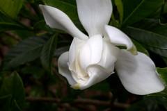 IMG_8662.CR2 (jalexartis) Tags: flowers flower spring fragrant bloom blooms shrub gardenia shrubbery