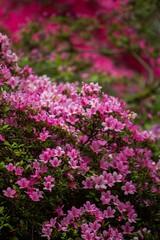 Spring - pink profusion (fotosforfun2) Tags: pink flower colour nature gardens canon spring seasons surrey nationaltrust godalming winkworth winkwortharboretum canon650d canonefs55250