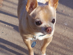 So handsome (EllenJo) Tags: arizona dog pet chihuahua pentax floyd cutest may22 digitalimage 2016 almost13 ellenjo ellenjoroberts bornin2003 thecutestdogwhoeverlived pentaxqs1