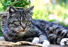 Mue ist der schnste Besitz von allen. (SpitMcGee) Tags: pet cat teddy tabby sokrates kater notmycat spitmcgee visitorsinmygarden