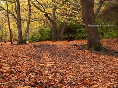 AUTUMNAL COLOUR (David~Preston) Tags: uk autumn trees england woodland seasonal merseyside roydenpark thewirral