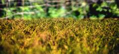 * (Shahnewaz_Khan) Tags: green colors beauty canon 50mm rice paddy bokeh catchy