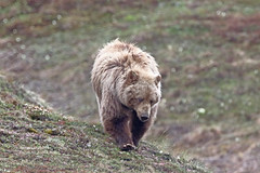 Griz_4H4A3342 (bud_marschner) Tags: alaska brownbear grizzlybear denalinationalpark