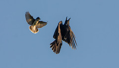 The King of the Skies (Bonnie Ott) Tags: attack americancrow easternkingbird defendingterritory birdattackingbird