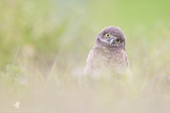 Puzzled (santosh_shanmuga) Tags: wild baby cute bird nature animal coral outdoors nikon florida fuzzy outdoor wildlife birding adorable aves chick raptor lee owl cape fl curious 500mm puzzled birdofprey capecoral burrowing owlet d3s