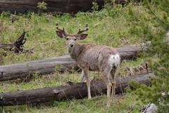 Mule Deer (Hammerchewer) Tags: outdoor wildlife deer yellowstone buck muledeer