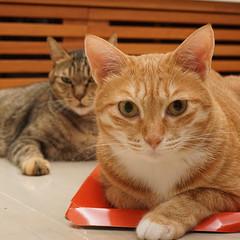 DSC09351S (lazybonessss) Tags: leica cat momo kitten nana kitten2 summicronm50 sonya7 sonyilce7