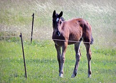 Princess of the Meadow (pianocats16, miau...) Tags: horse cute fence meadow filly foal