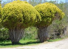 Cedars (stroonz) Tags: trees field station nantucket cedar cedars umass may2016