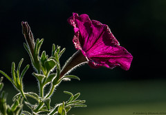 from a tiny seed; comes such beauty (kimedwards1123) Tags: sunlight flower color nature nikon dof 105mm d7200