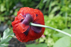 Achterkant ( Annieta  - on/off) Tags: flower netherlands fleur juni garden flora sony nederland jardin tuin lente allrightsreserved bloem 2016 krimpenerwaard annieta a6000 usingthispicturewithoutpermissionisillegal