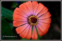 6214 - zinnia (chandrasekaran a 34 lakhs views Thanks to all) Tags: flowers india nature canon zinnia chennai eos400d