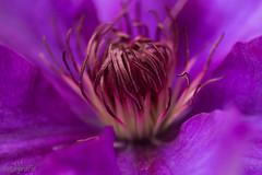 Makro (TH fotografie) Tags: macro canon fotografie natur pflanze lila 60mm blume makro tamron makrofotografie