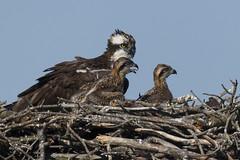 Osprey..(s) (turtlehawk) Tags: nature outdoors wildlife osprey bethanybeach bluecoast 061016