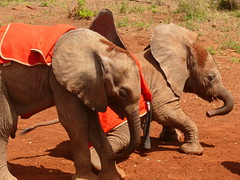 Daphne Sheldon's Orphanage ! (Mara 1) Tags: africa red baby animals outdoors eyes faces kenya earth wildlife ears elephants trunks coats