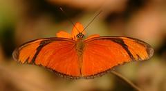 Julia Butterfly (Dryas iulia) (berniedup) Tags: pantanal poconé dryasiulia juliabutterfly transpantaneira taxonomy:binomial=dryasiulia