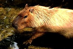 Swimming Capybara (Jay Costello) Tags: brown mammal rodent swimmer aquatic porcine capybara