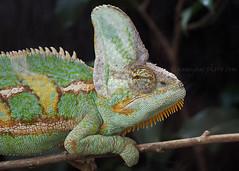 Chameleon (.annajane) Tags: animal reptile chameleon veiledchameleon stratfordbutterflyfarm chamaeleocalyptratus
