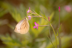 Butterfly (lique1304) Tags: flower nature animal butterfly insect outdoor vlinder hss