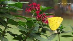 ( Graa Vargas ) Tags: graavargas 2016graavargasallrightsreserved flower red butterfly borboleta flowers 49315100816
