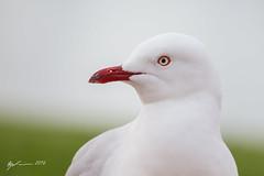 Silver Gull (R. Francis) Tags: sa southaustralia silvergull renmark chroicocephalusnovaehollandiae ryanfrancis ryanfrancisphotography