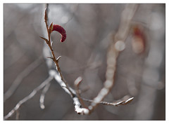 Rebirth (leo.roos) Tags: flowers leaves spring minolta bokeh buds rebirth lente bloemen knoppen bladeren a900 darosa minolta8514d leoroos