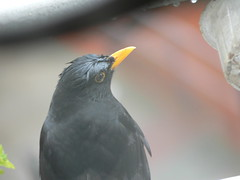 P1420960c - A very wet blackbird indeed!  (Indeed!!)  A bedraggled but very, very dedicated father - working almost around the clock to fledge his dear little offspring!* (Erniebobble *!* :*: Happy Easter Week !! :*: . . &) Tags: above portrait stilllife food orange black blur reflection bird london eye texture nature wet smile face weather silhouette rose garden dark grey golden wings focus soft exposure looking heart bright image feeding balcony wildlife touch profile beak peaceful stormy pale hidden study tip rainy bbc edge rest glimpse visitor solit