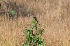IMG_7142L4 (Sharad Medhavi) Tags: bird canoneod50d birdsandbeesoflakeshorehomes