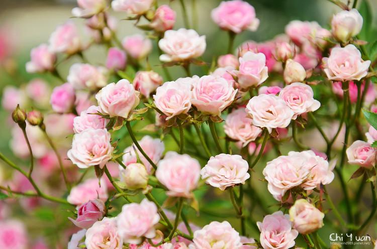 玫瑰園。迷你薰衣草05.jpg