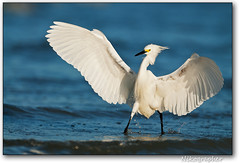 The Snowy that once Caught A Fish This Big (Nikographer [Jon]) Tags: bird beach birds florida fort snowy fl egret snowyegret myers fortmyers egrettathula egretta thula 20120321d300157609