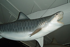 Tiger Shark model - Mokupapapa (BarryFackler) Tags: ocean life sea fish nature ecology coral museum hawaii polynesia shark marine sealife pacificocean bigisland hilo aquatic reef 2008 biology noaa marinelife downtownhilo seacreature oceanography tigershark coralreefs discoverycenter barrysbirthday learningcenter hawaiiisland galeocerdocuvier nationaloceanicandatmosphericadministration hilobayfront northwesthawaiianislands niuhi mokupapapa barryfackler barronfackler papahanaumokuakeamarinenationalmonument mokupapapadiscoverycenter laynelunaartist mokupapapadiscoverycenterforhawaiisremotecoralreefs marinenationalmonument gcuvier