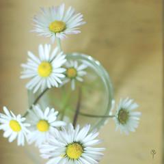 93:365 (Vernesa Catic-Metzner) Tags: life above stilllife white flower yellow daisies 35mm still nikon pov daisy nikkor